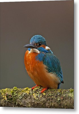 Male Kingfisher Metal Print by Paul Scoullar
