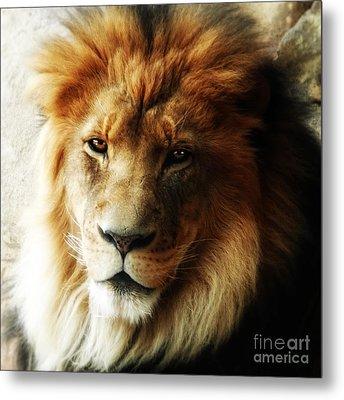 Male Lion Face Close Up Metal Print