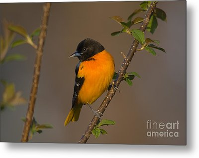 Male Northern Oriole Metal Print by Thomas and Pat Leeson