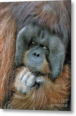Metal Print featuring the photograph Male Orangutan  by Savannah Gibbs