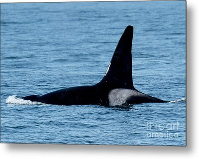 Metal Print featuring the photograph Male Orca Killer Whale In Monterey Bay 2013 by California Views Mr Pat Hathaway Archives
