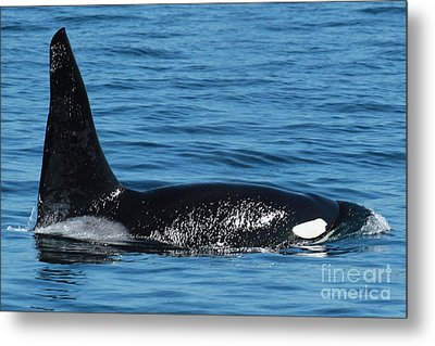 Metal Print featuring the photograph Lonesome George Ca165  Male Orca Killer Whale In Monterey Bay California 2013 by California Views Mr Pat Hathaway Archives