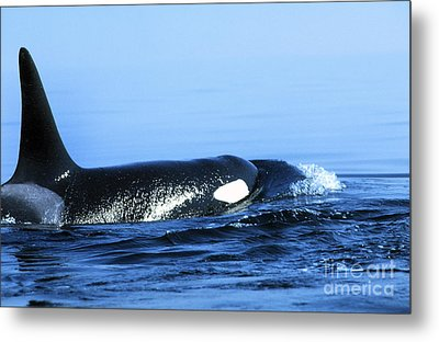 Metal Print featuring the photograph Male Orca Off The San Juan Islands Washington 1986 by California Views Mr Pat Hathaway Archives