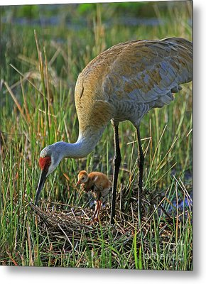 Metal Print featuring the photograph Male Sandhill With 4 Day Old Chick by Larry Nieland