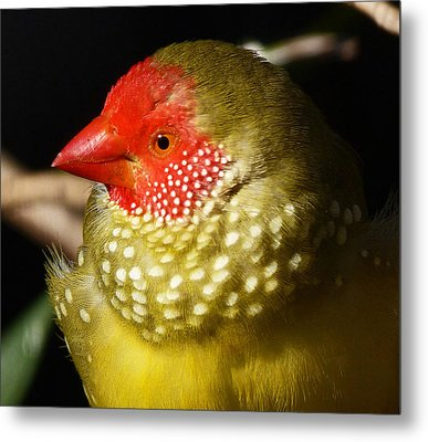 Male Star Finch Metal Print