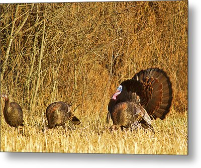 Male Tom Turkey With Hens Metal Print by Chuck Haney