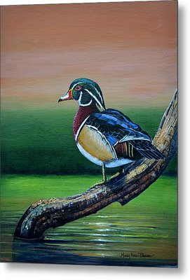 Male Wood Duck Metal Print by Mary ann Blosser