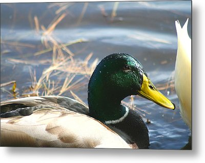 Metal Print featuring the photograph Mallard Anas Platyrhynchos by Neal Eslinger