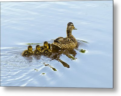 Mallard And Chicks  Metal Print