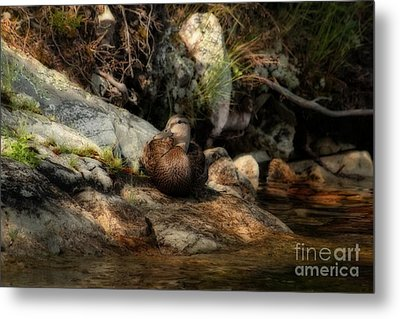 Metal Print featuring the photograph Mallard Duck Onaping 2 by Marjorie Imbeau