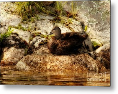 Metal Print featuring the photograph Mallard Duck Onaping by Marjorie Imbeau