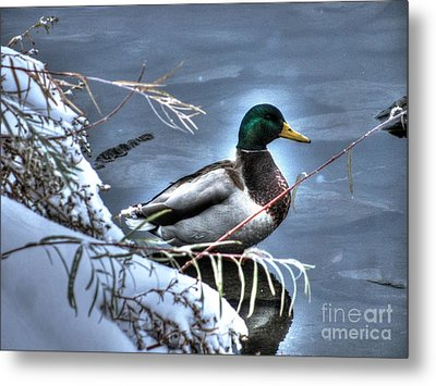 Mallard In Winter Metal Print