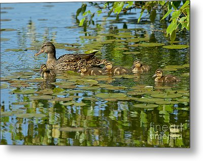 Mallard Mom And The Kids Metal Print by Sharon Talson