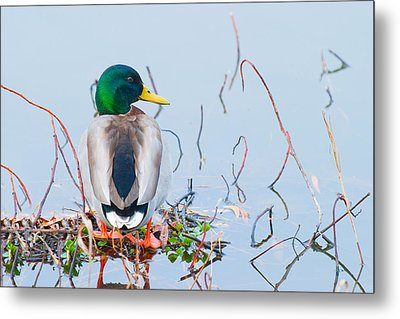 Metal Print featuring the photograph Mallard by Ram Vasudev