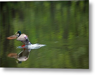 Mallard Splash Down Metal Print