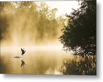 Mallard Taking Flight Noord-brabant Metal Print by Wim Werrelman