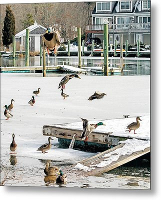 Metal Print featuring the photograph Mallards In Motion by Constantine Gregory