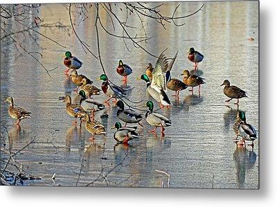Mallards On A Frozen River Metal Print by Rodney Campbell
