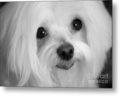 Maltese Eyes Metal Print by Leslie Leda