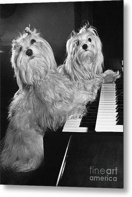 Maltese Pups Metal Print