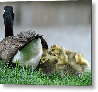 Metal Print featuring the photograph Mama And Goslings by Lisa Phillips