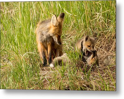 Mama Fox And Kits 2 Metal Print by Natural Focal Point Photography