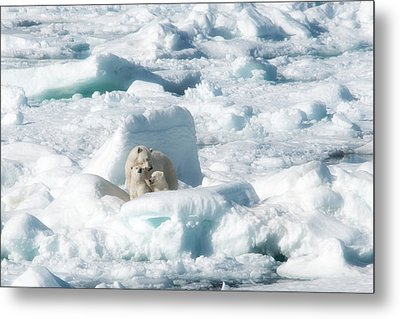 Mama Polar Bears And Cubs Metal Print by June Jacobsen