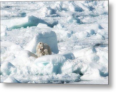 Mama Polar Bears And Cubs Metal Print
