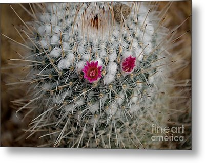 Metal Print featuring the photograph Mammillaria Geminispina by Scott Lyons