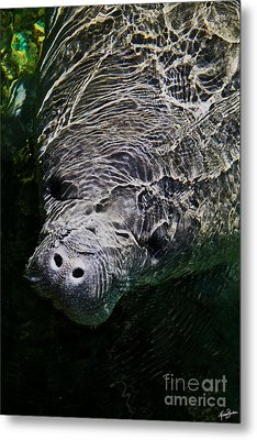 Metal Print featuring the photograph Manatee 01 by Melissa Sherbon