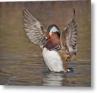 Mandarin Duck Flapping Away Metal Print by Susan Candelario