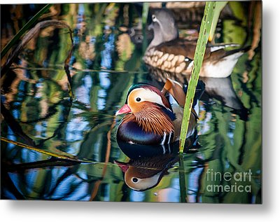 Mandarin Duck Reflections Metal Print