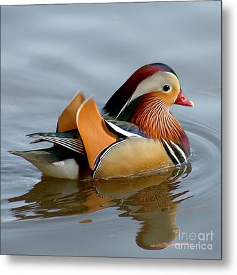 Metal Print featuring the photograph Mandarin Duck Swimming by Bob and Jan Shriner