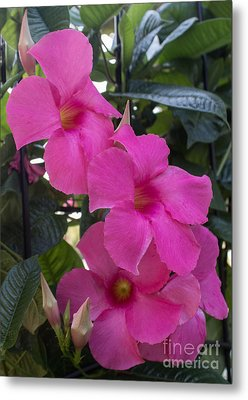 Mandevilla Beauty Metal Print