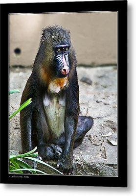 Metal Print featuring the photograph Mandril by Pedro L Gili