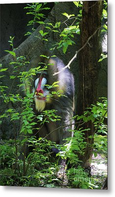 Metal Print featuring the photograph Mandrill Baboon by Rafael Quirindongo