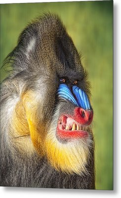 Mandrill Metal Print by Robert Jensen