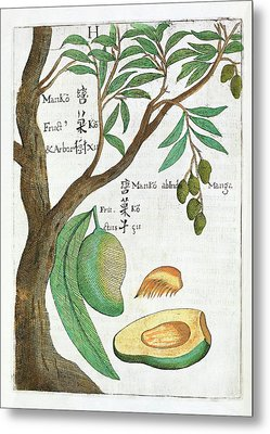 Mango Tree And Fruit Metal Print by Natural History Museum, London