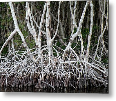 Mangrove Roots Metal Print by Rosalie Scanlon