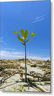 Mangrove Seedling On A Beach Metal Print by Science Photo Library