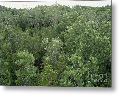 Mangrove Trees Metal Print by Gregory G. Dimijian, M.D.