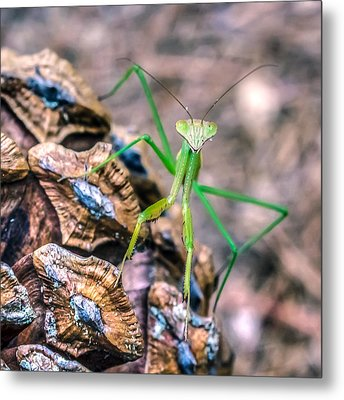 Mantis On A Pine Cone Metal Print by Rob Sellers