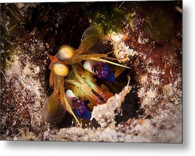 Mantis Shrimp Metal Print