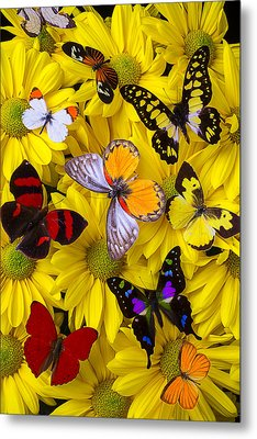 Many Butterflies On Mums Metal Print by Garry Gay