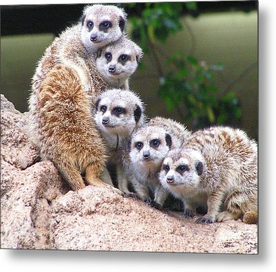 Many Meerkat Sentries Metal Print