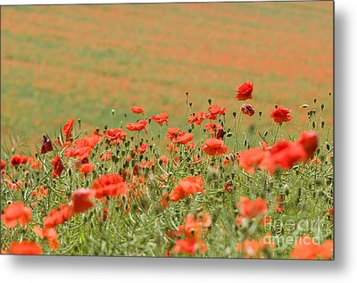 Many Poppies Metal Print by Anne Gilbert