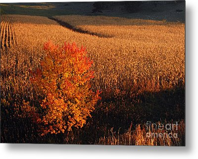 Maple And Cornfield At Dawn Metal Print by Larry Ricker