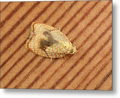 Maple Button Moth Metal Print by Nigel Downer