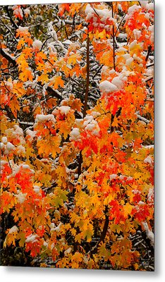 Maple Glow Limited Edition Metal Print
