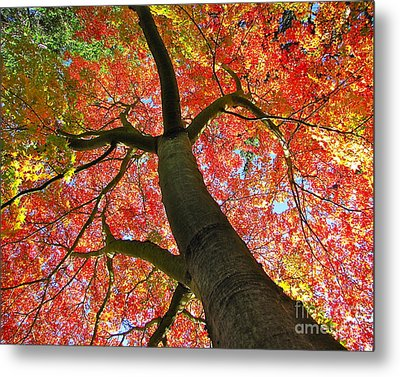 Maple In Autumn Glory Metal Print